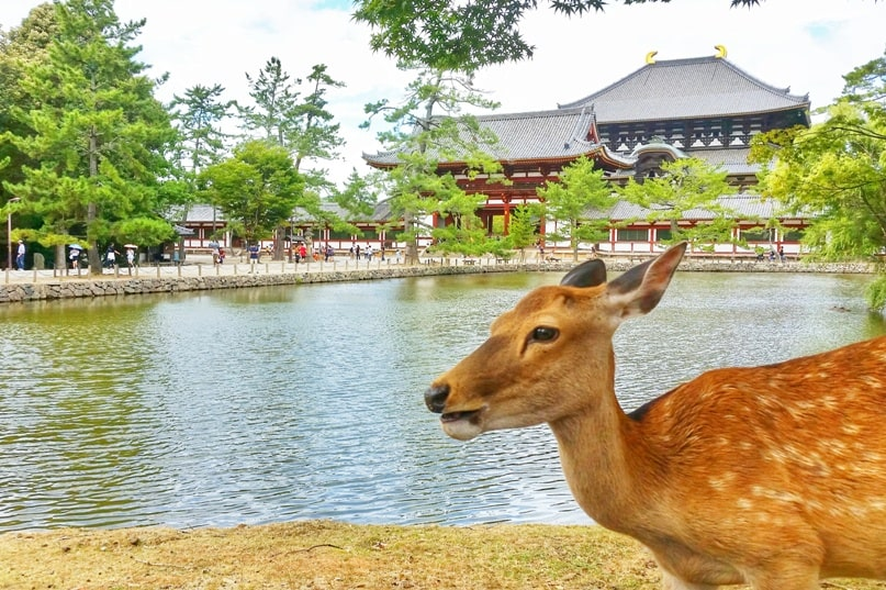 Things to do in Nara in one day itinerary: Kasuga taisha shrine to Todaiji Temple, Great Buddha. Deer. Backpacking Japan