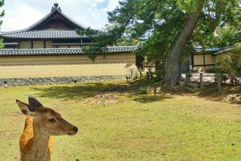 Things to do in Nara in one day itinerary: Kasuga taisha shrine to Todaiji temple. Deer. Backpacking Japan