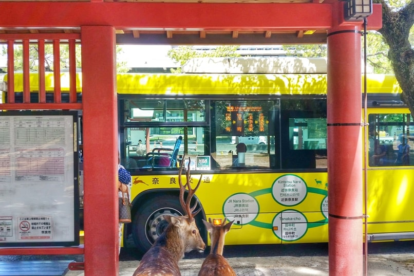 Things to do in Nara in one day itinerary: Nara bus stop deer. Backpacking Japan