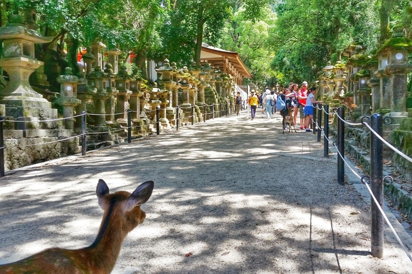 Things to do in Nara in one day itinerary: Nara Park to Kasuga taisha shrine hike. Deer. Backpacking Japan