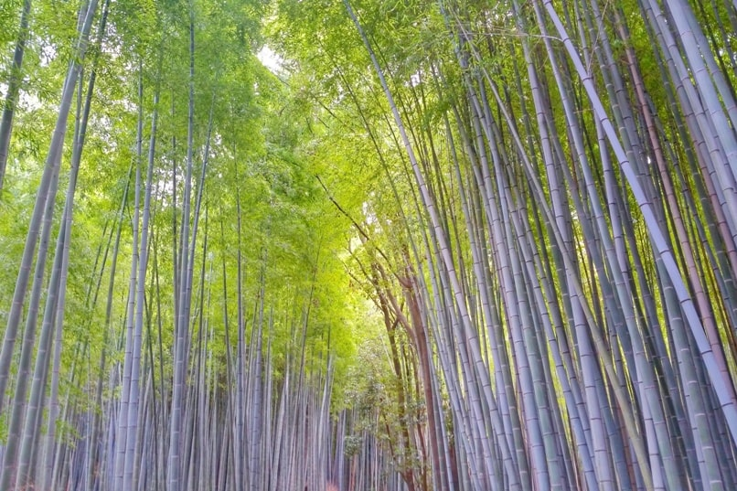 Arashiyama bamboo forest grove - when is best time to visit - early morning less crowds. photos. Kyoto bamboo forest. Backpacking Japan