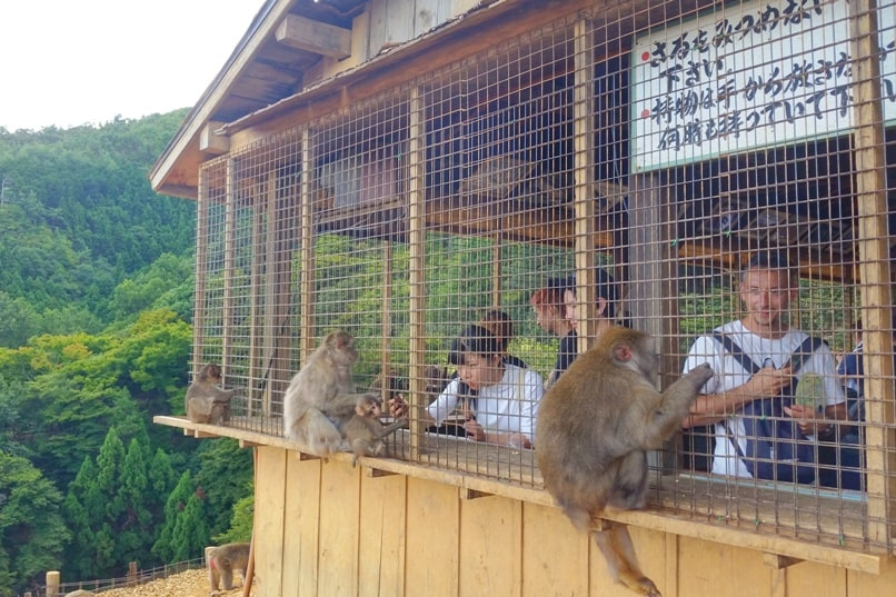 Arashiyama monkey park with Japanese snow monkeys in Kyoto. Feeding monkey food. One day in Arashiyama and Sagano. Backpacking Japan