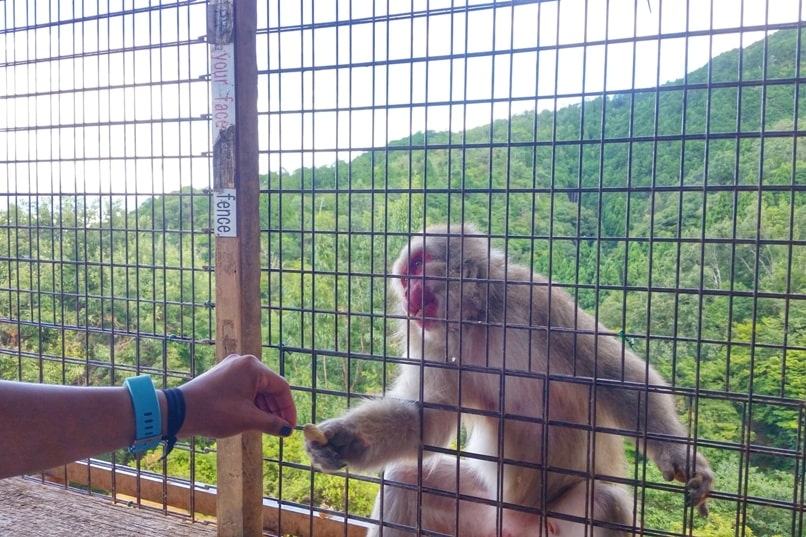 Arashiyama monkey park with Japanese snow monkeys in Kyoto. Things to do in Kyoto with kids activities. Feeding monkey food. One day in Arashiyama and Sagano. Backpacking Japan