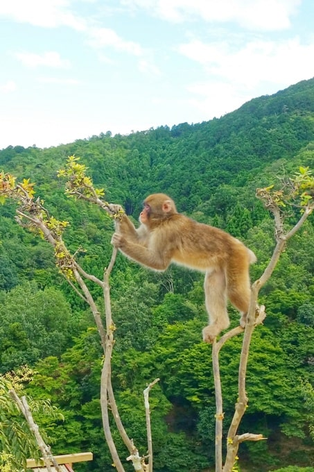 Arashiyama monkey park with Japanese snow monkeys in Kyoto. One day in Arashiyama and Sagano. Backpacking Japan
