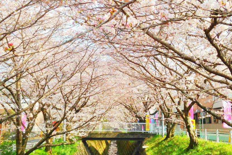 Worst time to visit Japan. When is the best time to go to Japan for seasons in Japan - spring cherry blossom season. Backpacking Japan travel blog