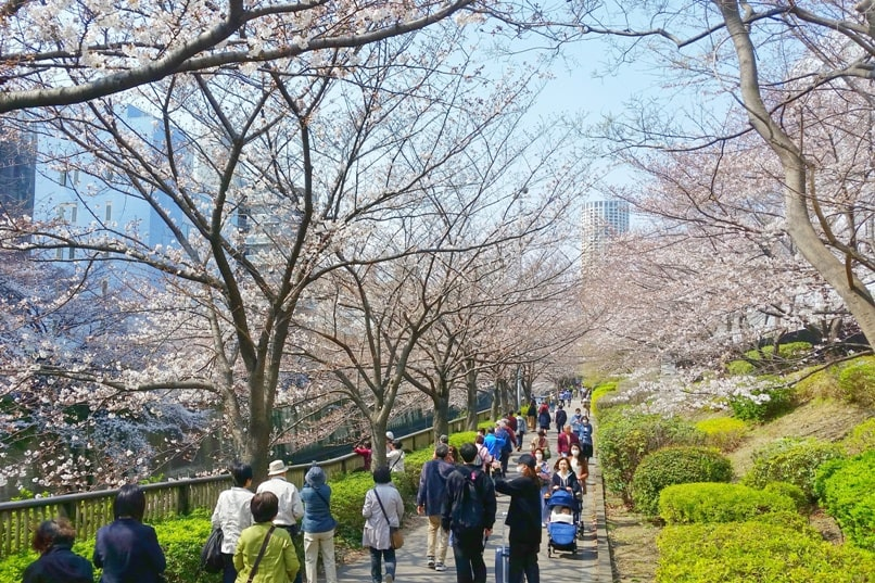 Meguro River cherry blossoms promenade viewing in Tokyo. Backpacking Japan