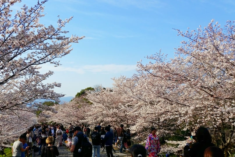 Best cherry blossom photo spots in Kyoto - when is best time to go to japan for spring travel march or april for cherry blossoms - tourist peak season with crowds. Backpacking Kyoto Japan
