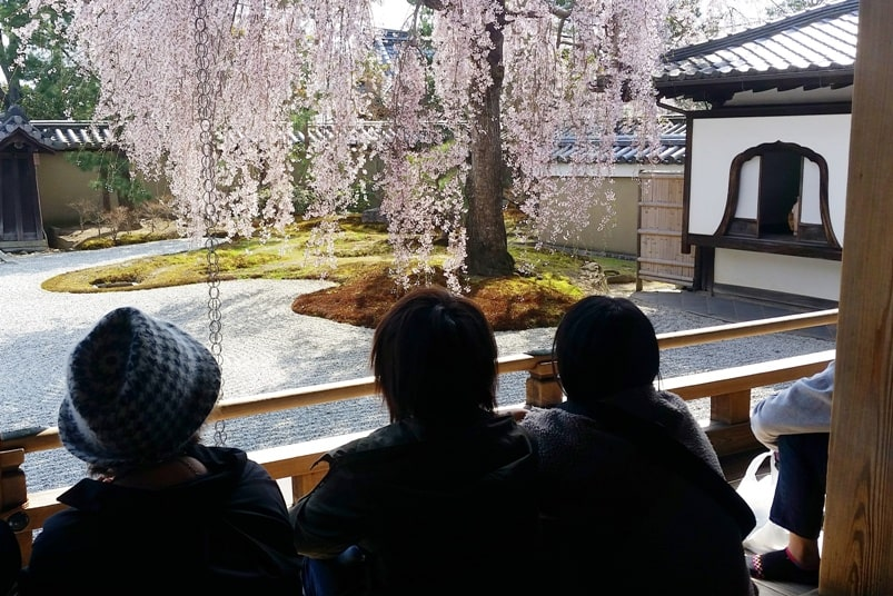Best cherry blossom spots in Kyoto - Kodaiji zen temple cherry blossom. Backpacking Kyoto Japan