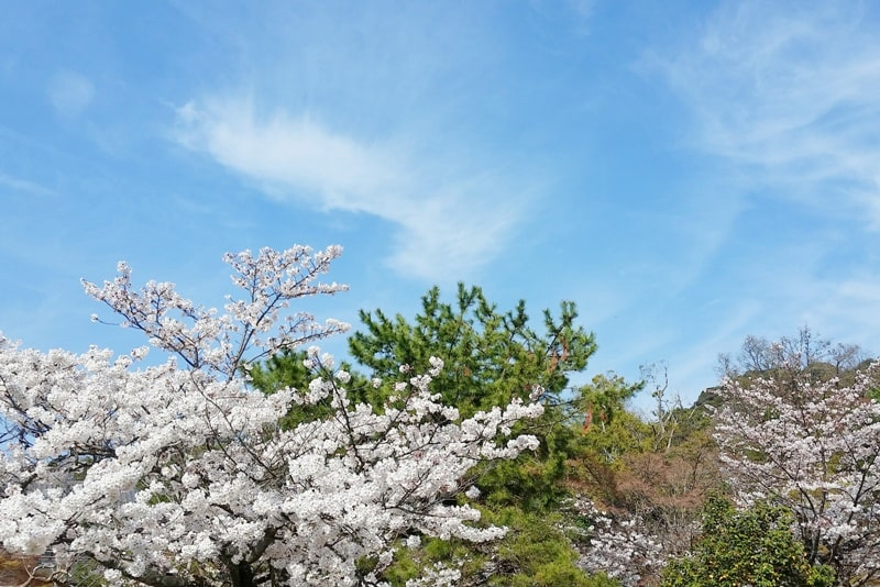 Best cherry blossom spots in Kyoto - maruyama park cherry blossom, near gion. Backpacking Kyoto Japan