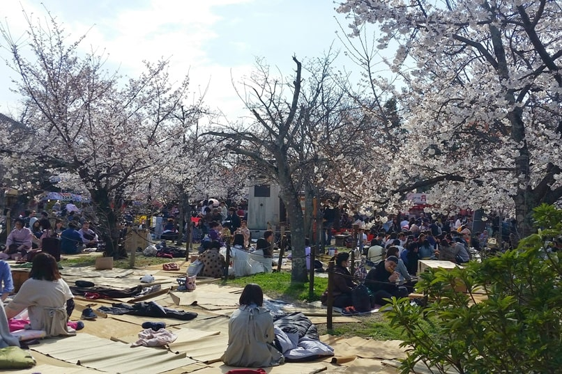 Best cherry blossom spots in Kyoto - maruyama park cherry blossom, picnic near gion. Backpacking Kyoto Japan