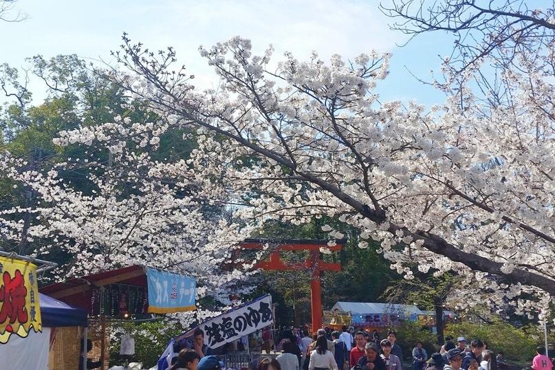 Best cherry blossom spots in Kyoto - maruyama park cherry blossom festival sakura, near gion. Backpacking Kyoto Japan