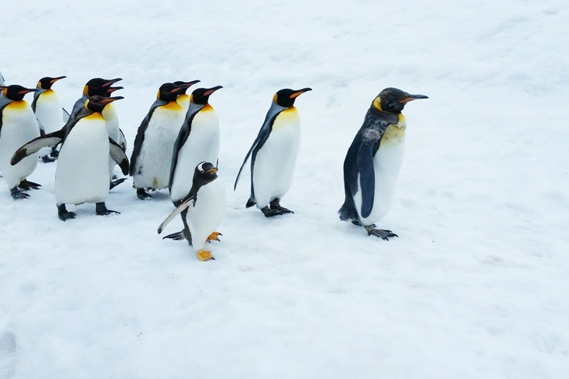 Sapporo to Asahikawa. Day trip to asahikawa for asahiyama zoo and penguin walk. Backpacking Hokkaido Japan