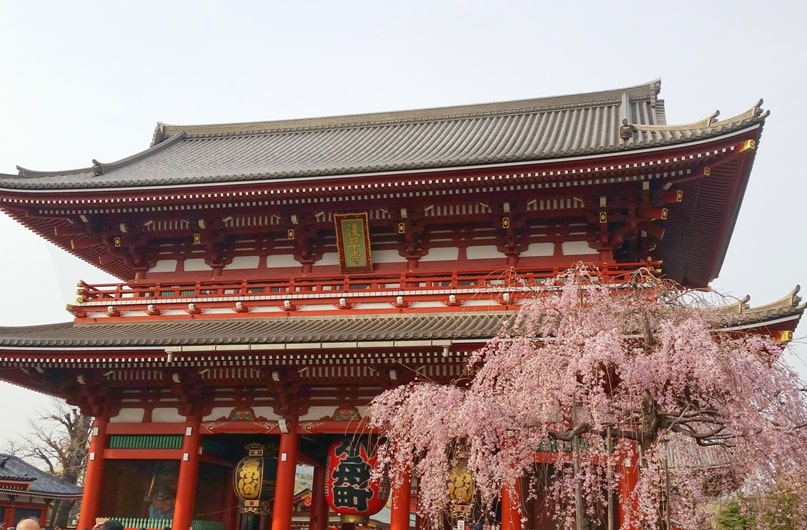 Sensoji temple cherry blossoms. things to do in asakusa to see cherry blossoms. Backpacking Tokyo Japan