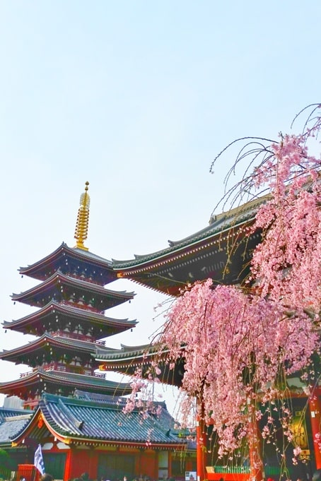 Sensoji temple pagoda cherry blossoms. things to do in asakusa to see cherry blossoms. Backpacking Tokyo Japan