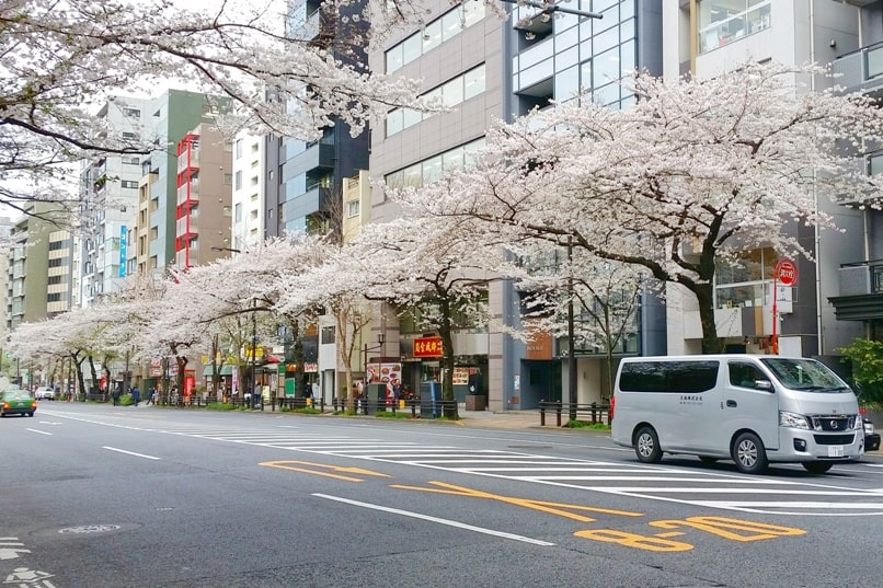 Cherry blossom walk in Tokyo to get to Yasukuni shrine. Backpacking Tokyo Japan