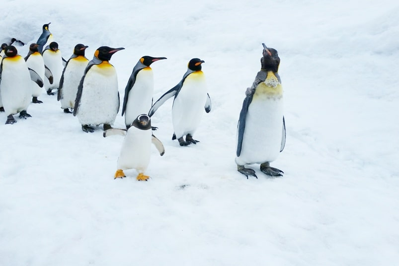 Hokkaido Japan winter itinerary with 7-day JR Hokkaido pass. asahikawa. penguin walk at asahiyama zoo. 1 day in Hokkaido. Backpacking Japan winter travel blog