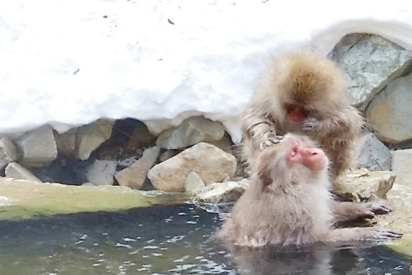 Jigokudani monkey park. Best things to do in Nagano in 2 days with Snow monkey pass. best places to visit in Nagano. Backpacking Japan travel blog