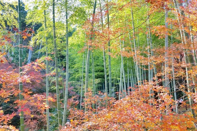 Autumn in Kyoto Japan. Kyoto bamboo forest for fall foliage colors. jojakkoji temple. arashiyama. October, November, December. koyo momiji photos spots. red orange yellow. Kyoto Japan travel blog