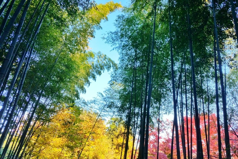 Okochi Sanso villa garden to saga arashiyama bamboo forest for autumn fall foliage colors in Arashiyama Kyoto in October, November, December. red orange yellow. Backpacking Japan travel blog